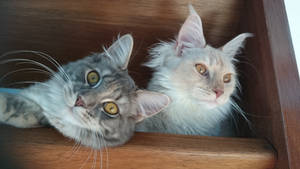 Maine Coons on the stairs