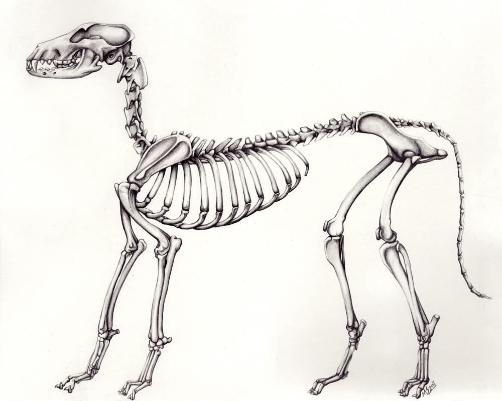 Dog Skeleton by XxragnoraukxX on DeviantArt