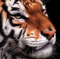 Tiger by Thunderbird111