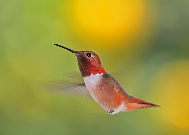 Hummingbird in flight by yo13dawg