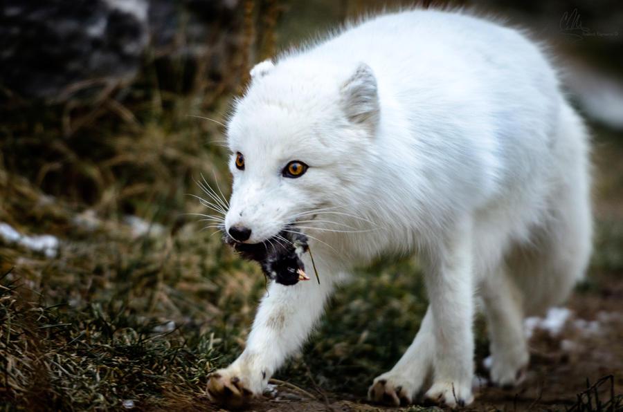 Arctic Hunt by AmbientExposures