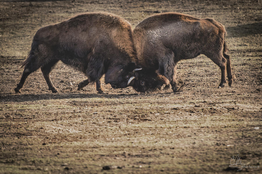 Bison Rush by AmbientExposures
