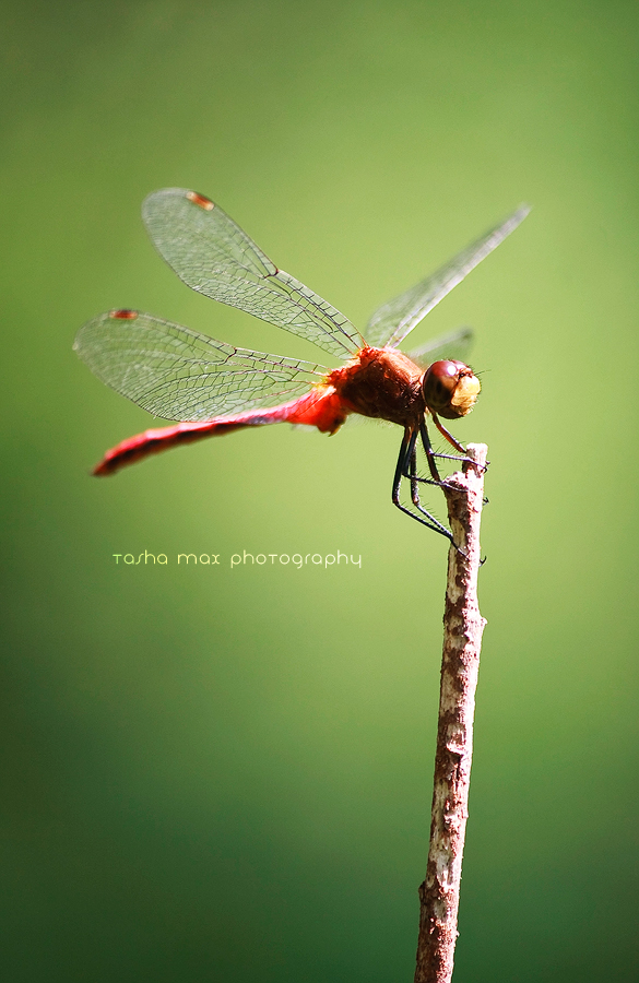 Sympetrum by Project-Pestilence