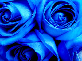 Blue roses by MagicMirror2007