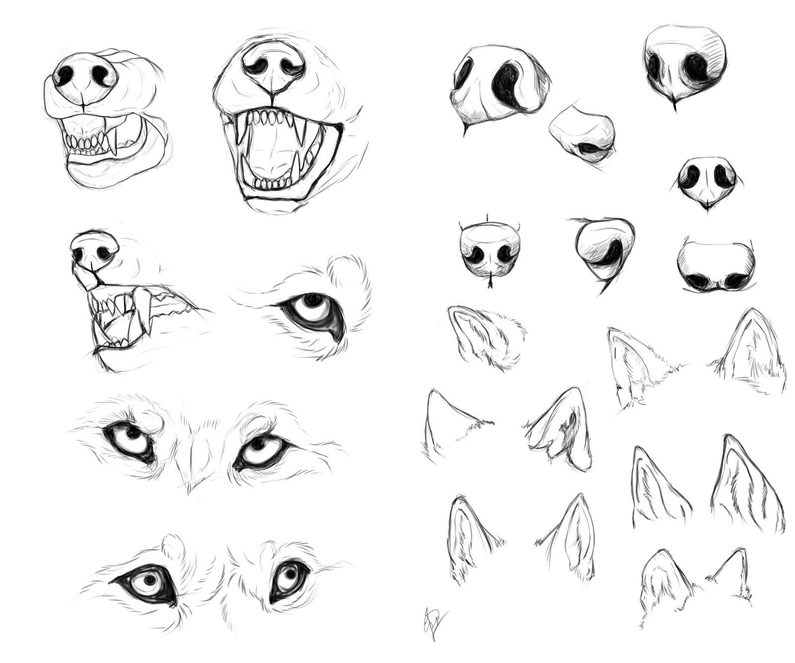 Wolf anatomy study by