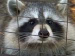 cute raccoon