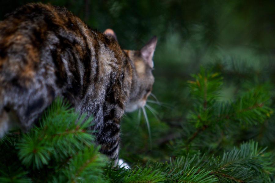 Cat Tree Fir Sale Whitehorse Yukon