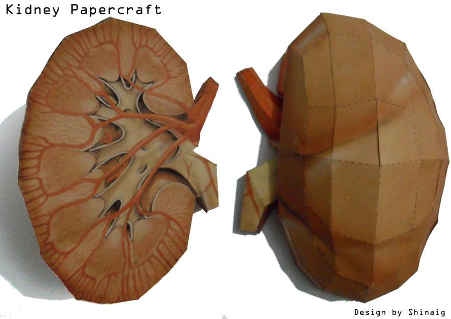 Kidney Papercraft by Shinaig