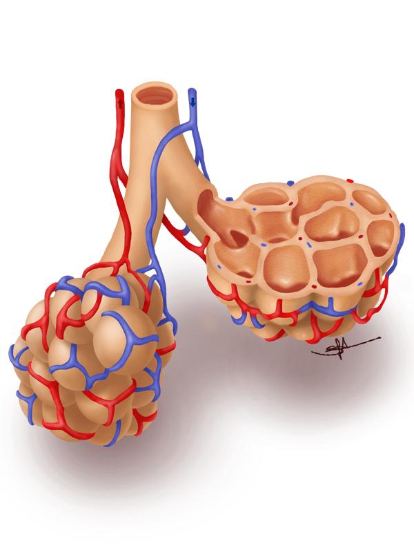 Alveoli by Shinaig on DeviantArt