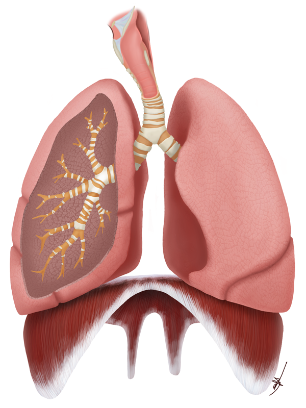 Respiratory System by Shinaig
