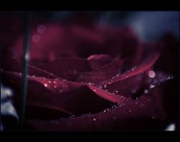 Rose - III by Fr0zenIllusi0n