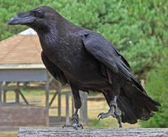Raven by asaph70
