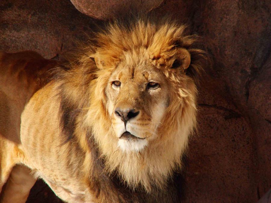 Lion by asaph70