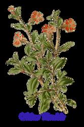 Flower 6 (Silene Pendula)