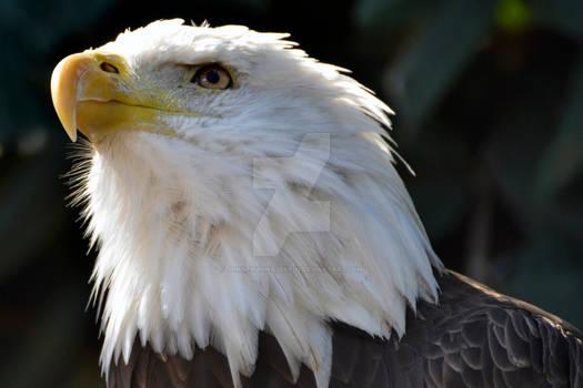 Bald Eagle 4