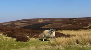 ram and lowland heather hill