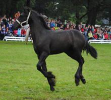 Friesian Foal Stock 01 by ponystock