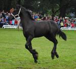 Friesian Foal Stock 01