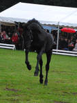 Friesian Foal Stock 04