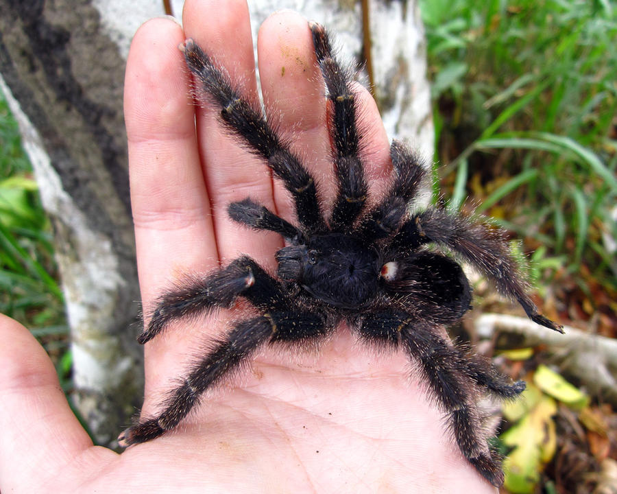 Avicularia purpurea by WeirdBugLady
