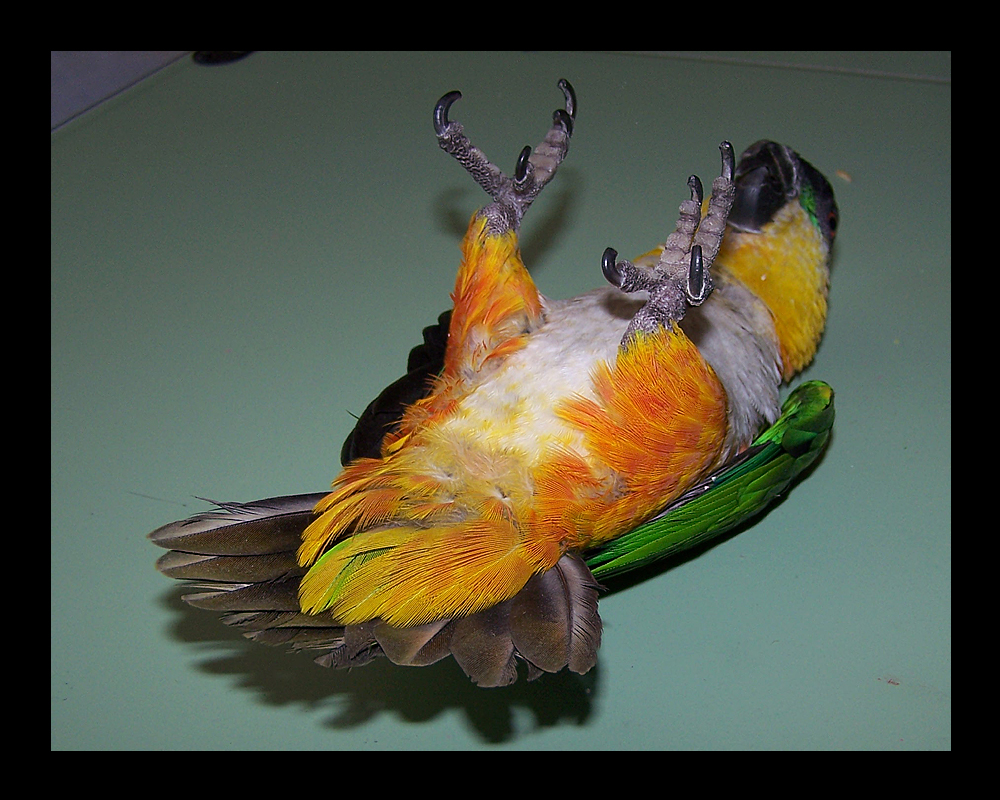 Image result for bird playing dead