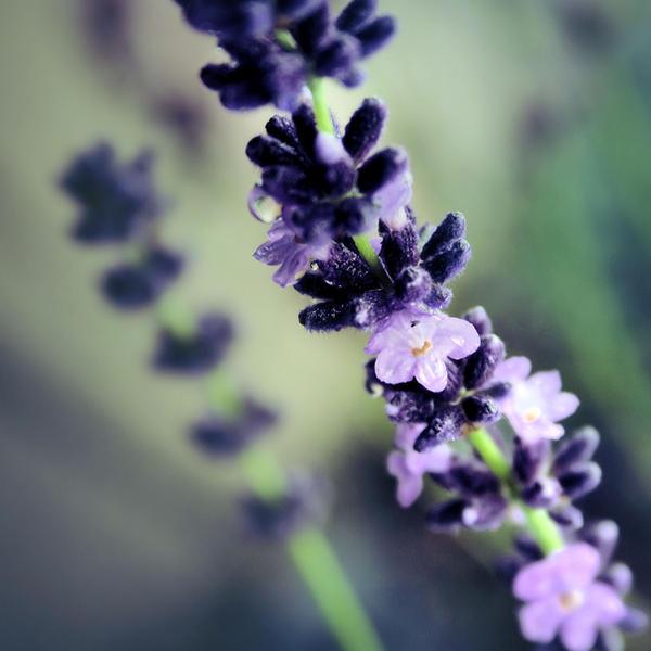 lavender. by LenaCramer