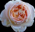 Rose Precut