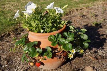 Strawberry Pot Stock 1