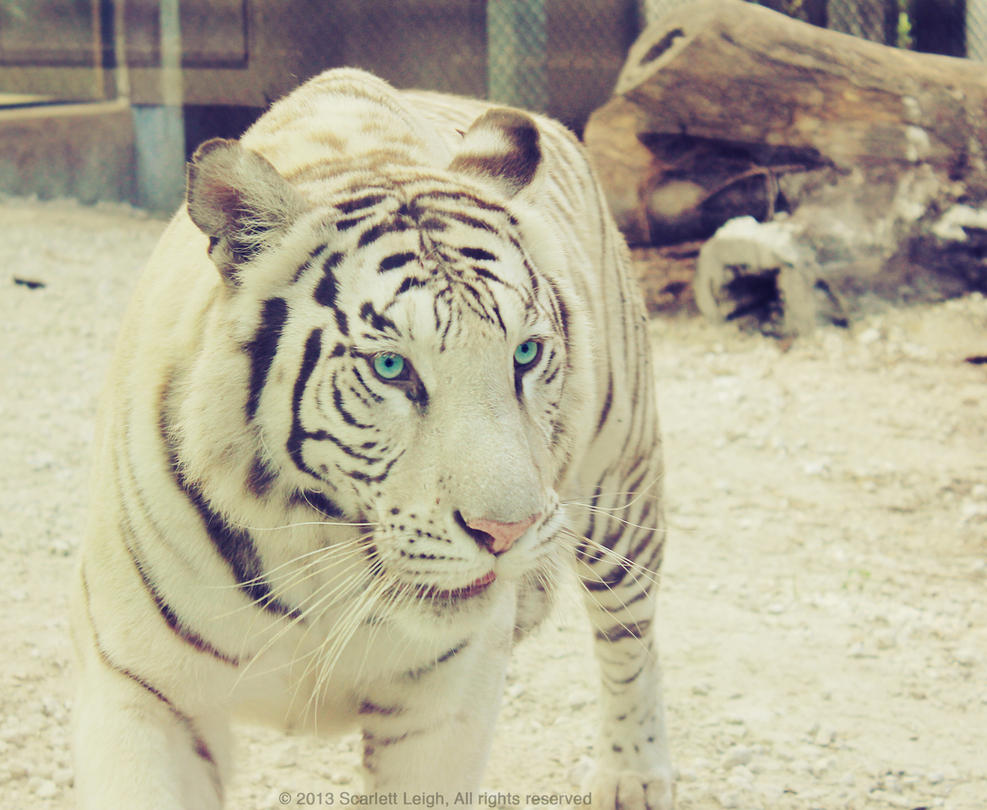 Tigress by rosecrest