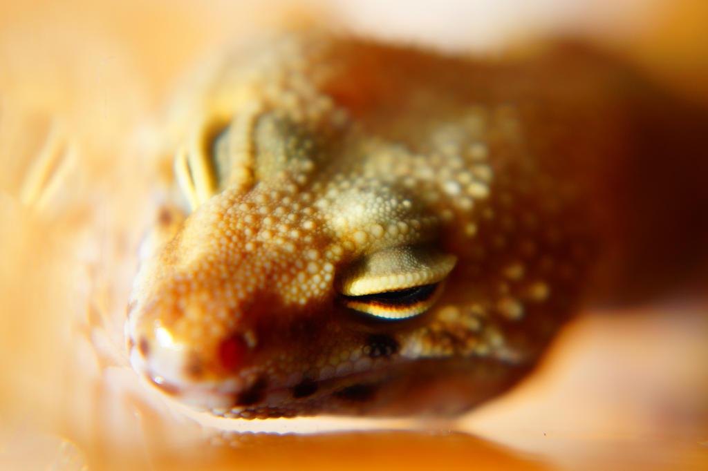 Leopard Gecko by shiroyaasha
