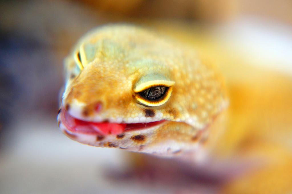 Leopard Gecko, cuteness over 9000!! by shiroyaasha