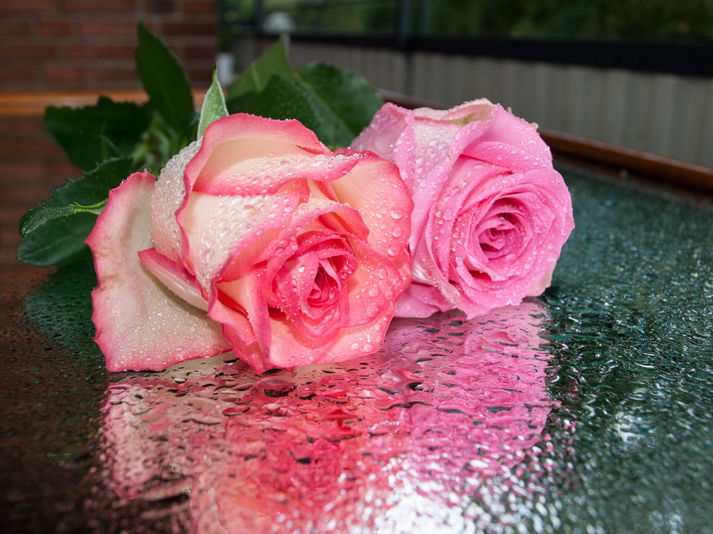 STOCK Roses 4 by Inilein