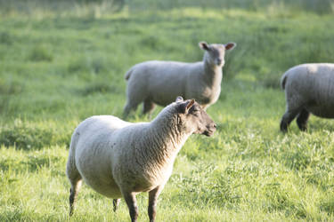 STOCK Sheep