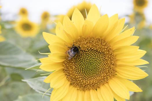 STOCK Sunflower