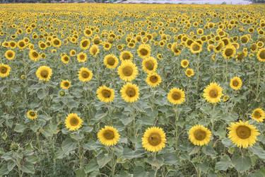 STOCK Sunflowers