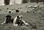 working shepherds