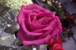 Free Stock, rose