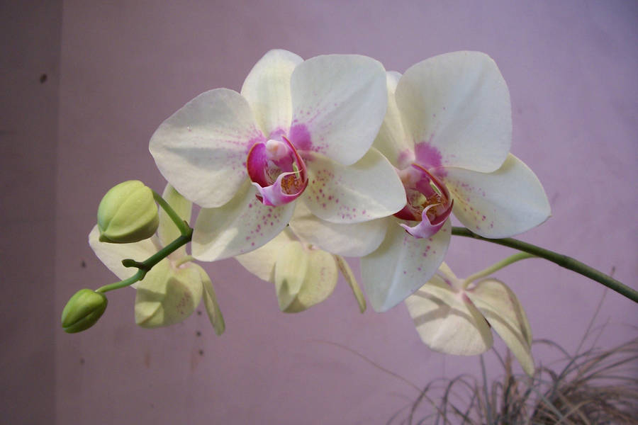 Orchid by paintresseye