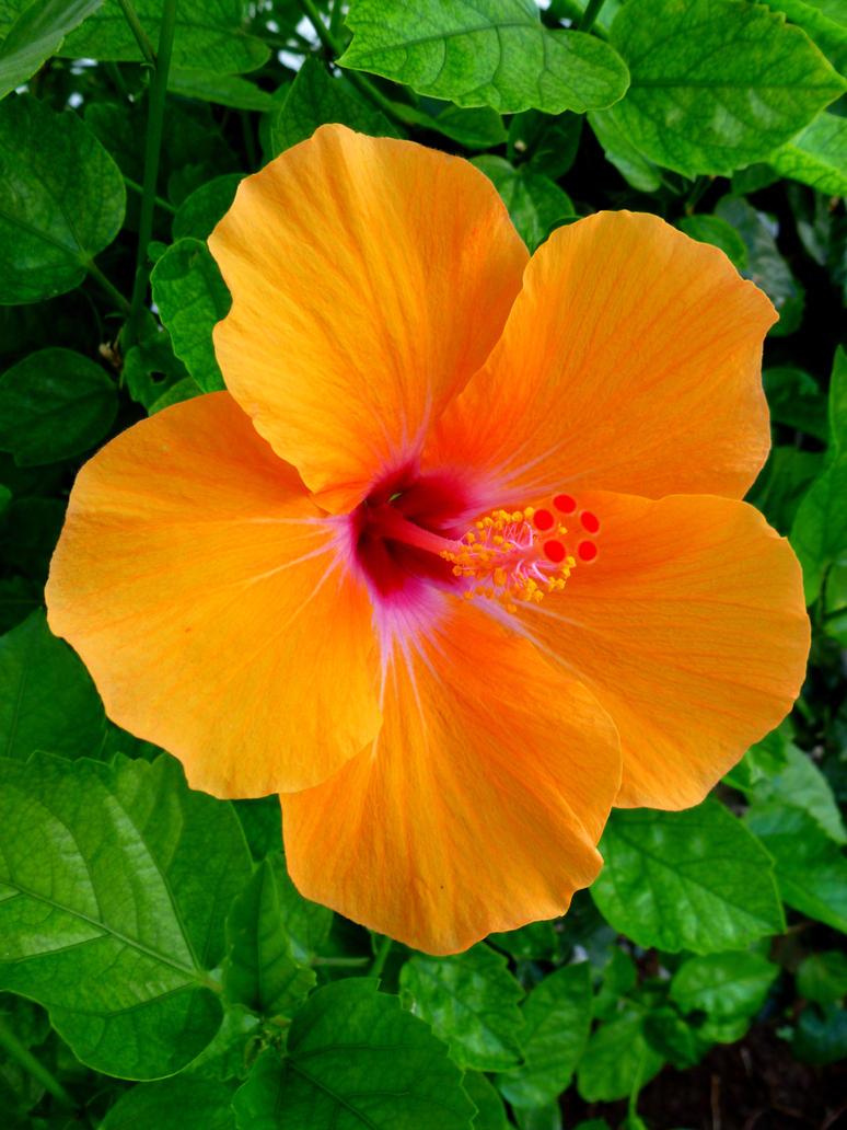 Hawaiian Hibiscus By Joeyartist On Deviantart