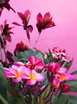 Plumeria and Croton