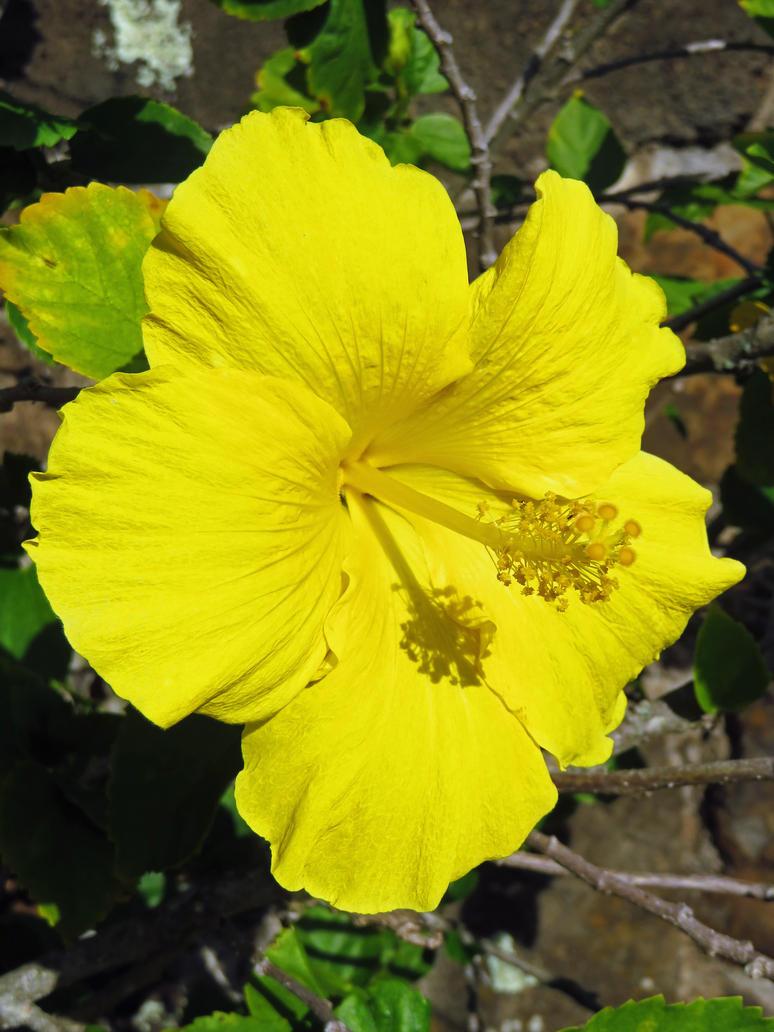 Hawaii state flower by joeyartist on deviantart hawaii state flower by joeyartist izmirmasajfo