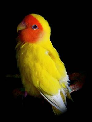 Lovebird by Makii-17