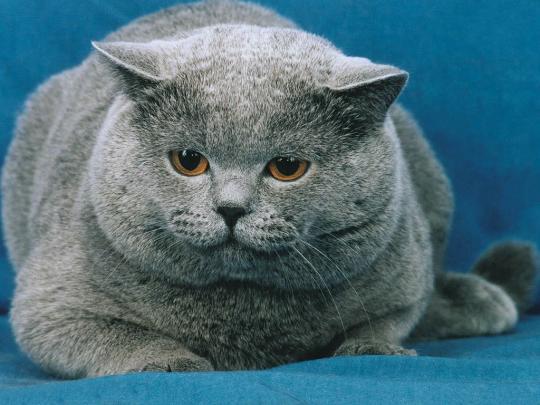 Grey-cat-2 by megamihinata