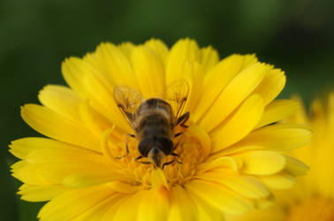 Bee or Fly part 2 :) by Expectare