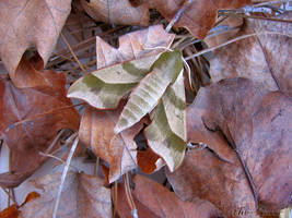 Dried Leaves by Lithe-Fider