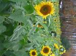 Sunflower study 2