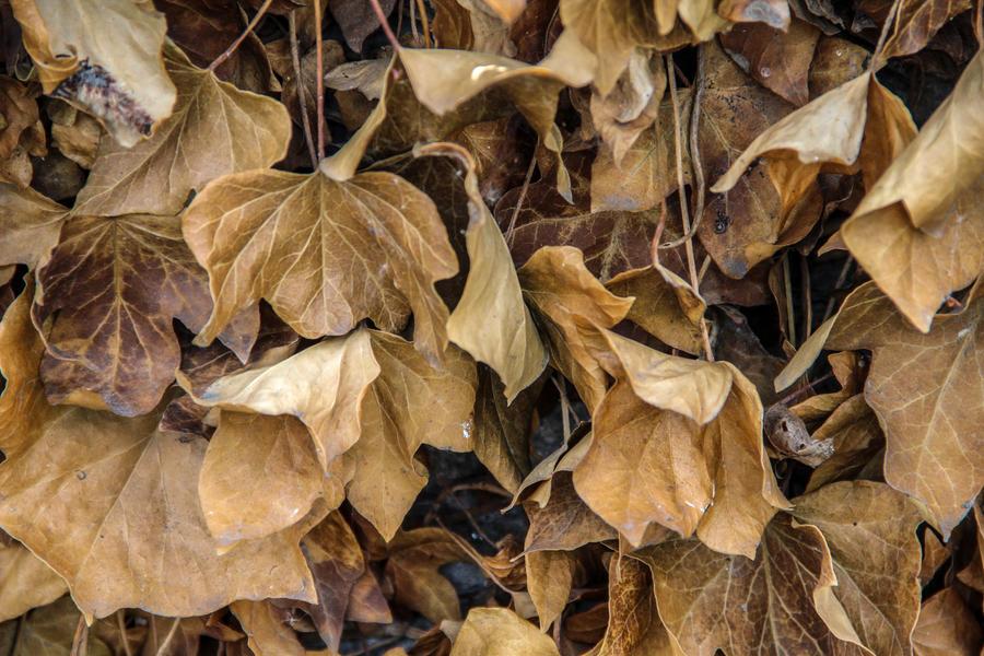 Dead vine by Multiartis