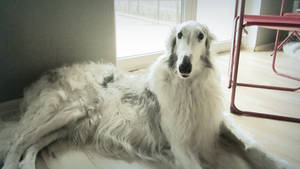 .:Bronek the borzoi:. by AkumaAgma