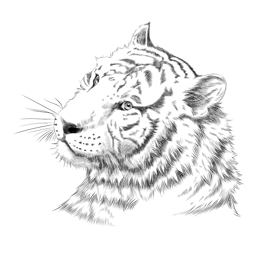 Line Drawing Tiger : Tiger line art by carol on deviantart