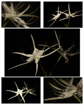 Spider Lilly